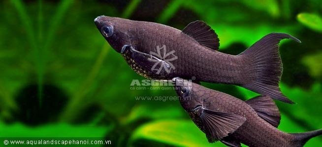 Cá hacmoni đuôi én