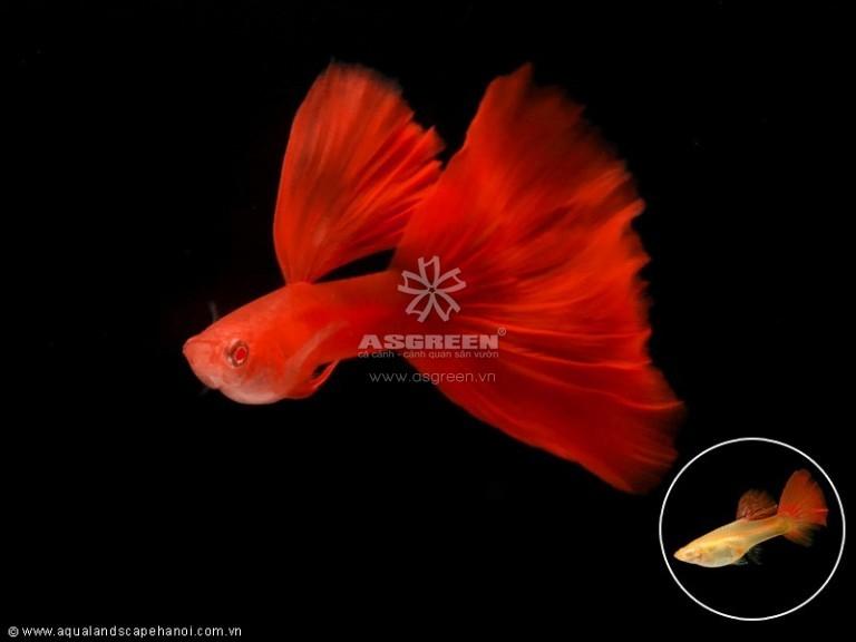 Những loại cá cảnh nước ngọt dễ nuôi