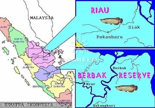 Địa bàn phân bố tự nhiên của loài kim long hồng vĩ : vùng Pekanbaru, tỉnh Riau và khu bảo tồn Berbak, tỉnh Jambi.