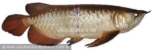 Kim long hồng vĩ (Scleropages aureus) bình thường có màu sắc không vượt quá hàng vảy thứ tư.