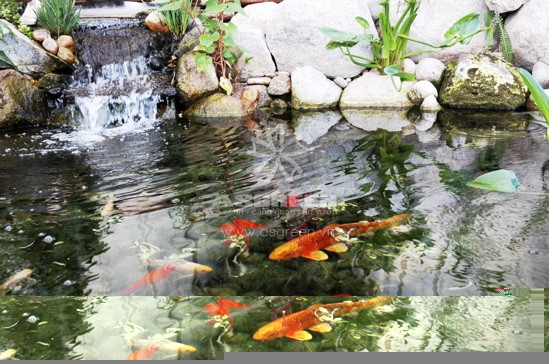 15 lý do để làm hồ koi và nuôi cá koi làm cảnh