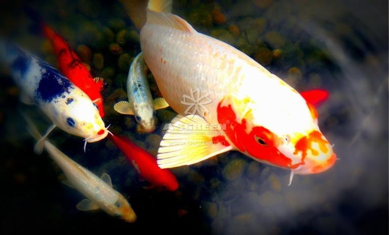 7 lý do để bạn phải nuôi cá koi làm cảnh