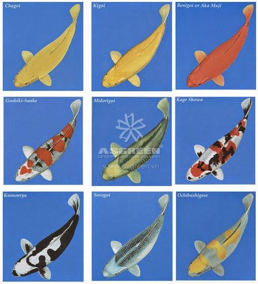Các loại cá chép koi – cách phân biệt tên gọi các loại cá koi