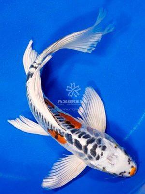 Cá Koi Bướm