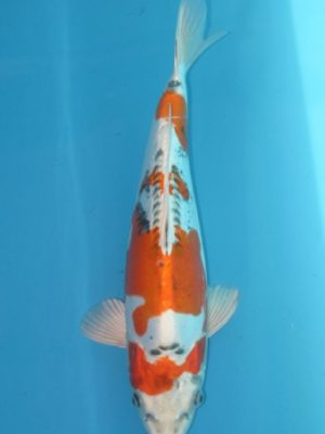 Con giống cá Koi Nhật Bản Doitsu Kujaku đẹp