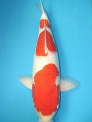 Con giống cá Koi Nhật Bản Kohaku đẹp