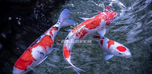 Cách nhận biết cá Koi Nhật Bản