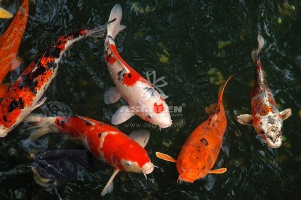 Những dấu hiệu nhận biết cá Koi bị bệnh