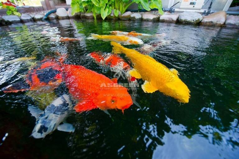 Có nên vệ sinh bộ lọc hồ cá koi thường xuyên không?
