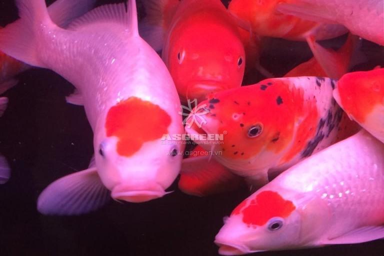 Mới về nhiều cá Koi size từ 20-50cm đủ màu sắc – 10/3/2016