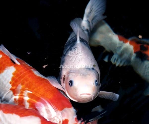 3 nguyên nhân khiến cá koi nổi đầu