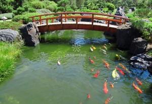 Mẫu hồ cá Koi truyền thống Nhật Bản 28