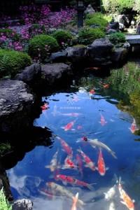 Mẫu hồ cá Koi truyền thống Nhật Bản 16