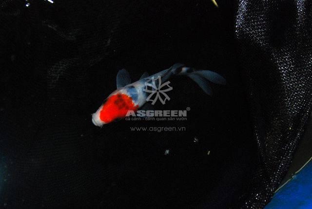 Bắt cá bằng vợt gây streen cho cá Koi