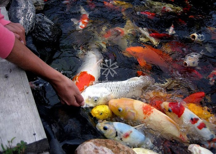 cách chăm sóc cá Koi