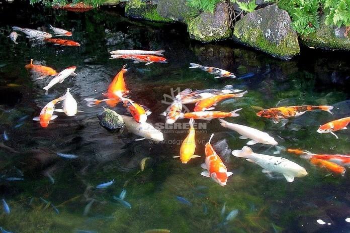 Cách tính số lượng cá Koi cho phép trong hồ!