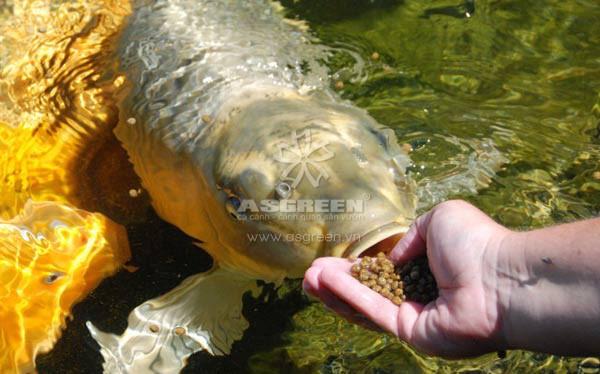 Huấn luyện cho cá Koi ăn trên tay