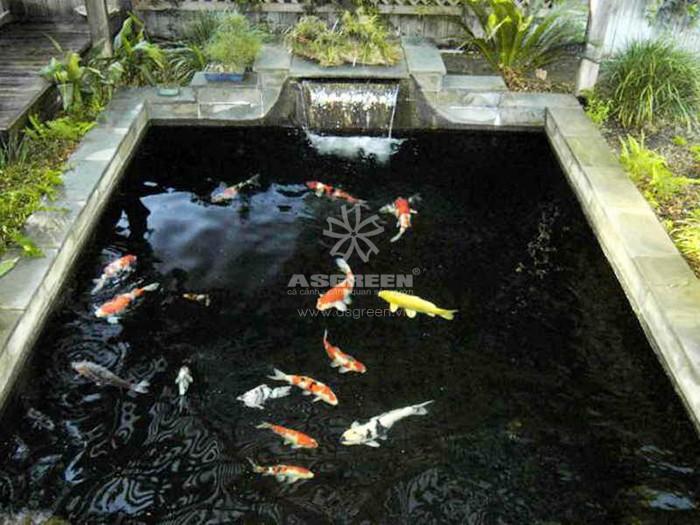 Nguyên nhân và cách khắc phục cá Koi phai màu