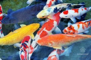 Several carp in a pond