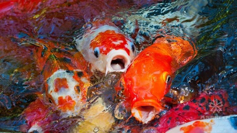 Bộ sưu tập cá Koi đẹp