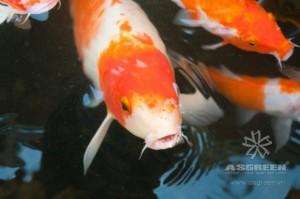 bo-suu-tap-ca-koi-dep-019