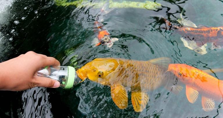 Hình ảnh Cá Koi ngộ nghĩnh đáng yêu