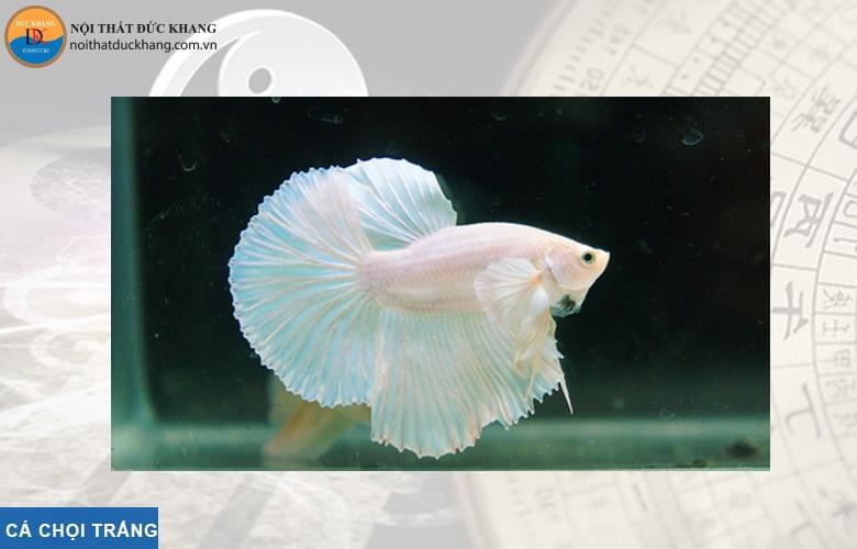 Cá chọi trắng hợp phong thủy mệnh Kim