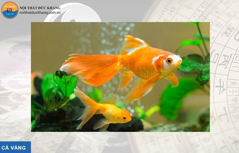 Cá vàng hợp phong thủy mệnh Kim