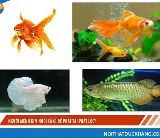 Người mệnh Kim nuôi cá gì để phát tài phát lộc?