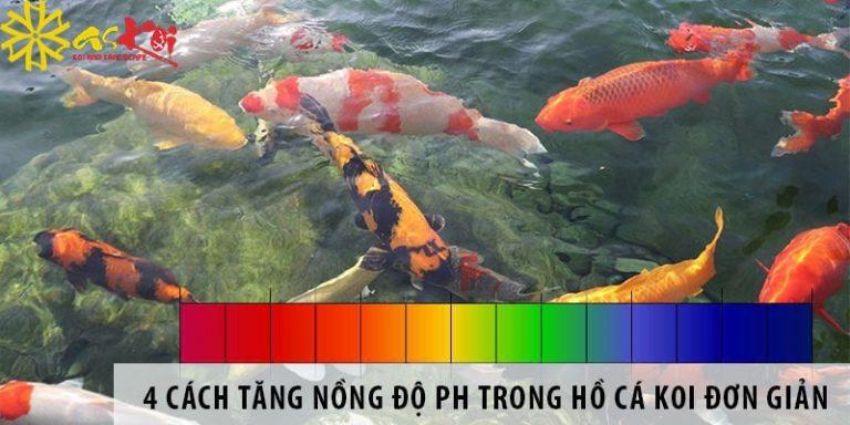 4 cách tăng nồng độ pH trong hồ cá Koi đơn giản