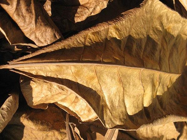Có thể sử dụng lá bàng để giảm pH trong hồ cá koi